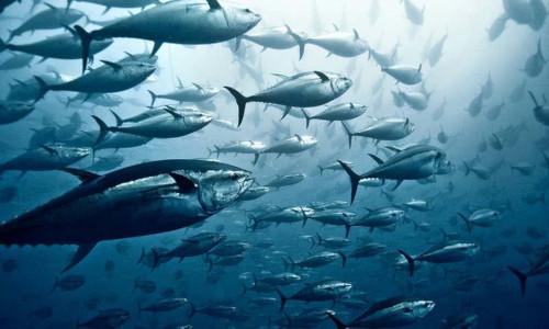 Getty image of swimming fish